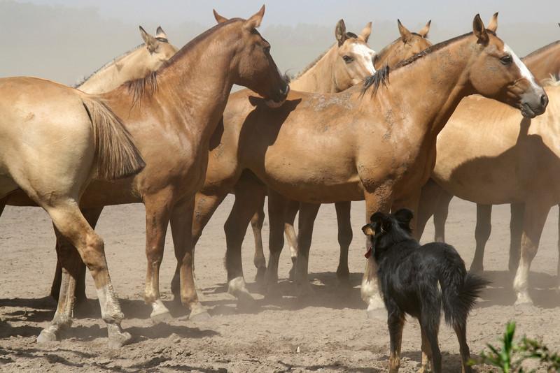 ZO 41 Herding Wild Horses - Argentina