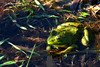 ZO 37 Frog in a Pond