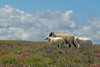 ZO 89 Three Sheep SAM_2083