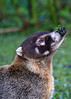 ZO 23 Coatimundi with Branch on Nose