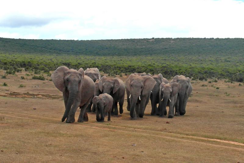ZO 80 Elephants Advance Port Elizabeth SAM_0364