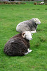 ZO 66 Two Herdwick Sheep