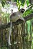 ZO 82 White Lemur - Madagascar IMG_0523