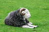 ZO 67 Sleeping Herdwick Sheep