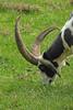ZO 63 Horned Goat