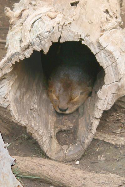 ZO 2 Sleeping Otter