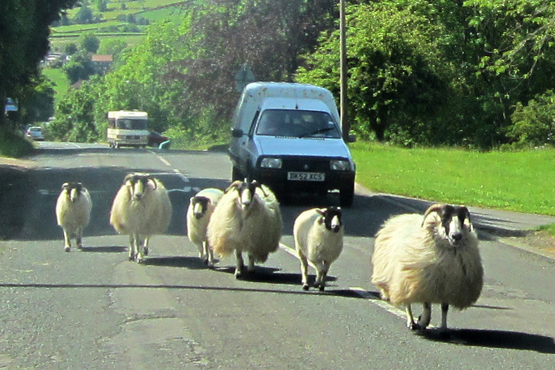 ZO 39 Sheep Hazard - Into Danby