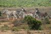 ZO 87 Five Zebras SAM_0332
