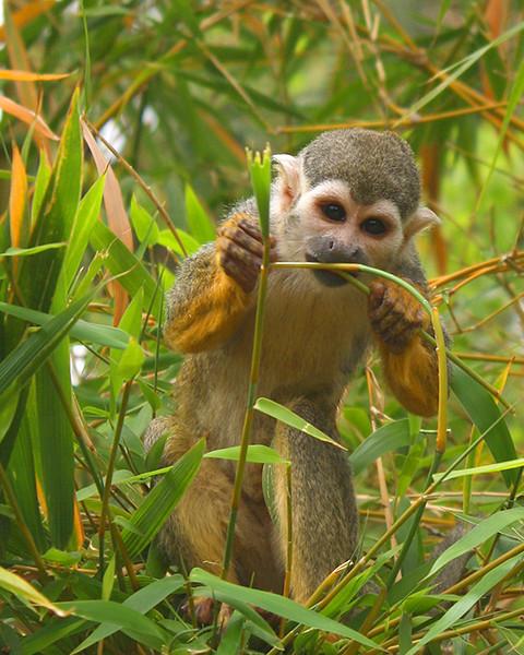 ZO 4 Spider Monkey