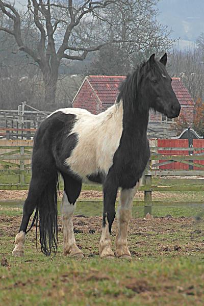 ZO 61 Regal Horse