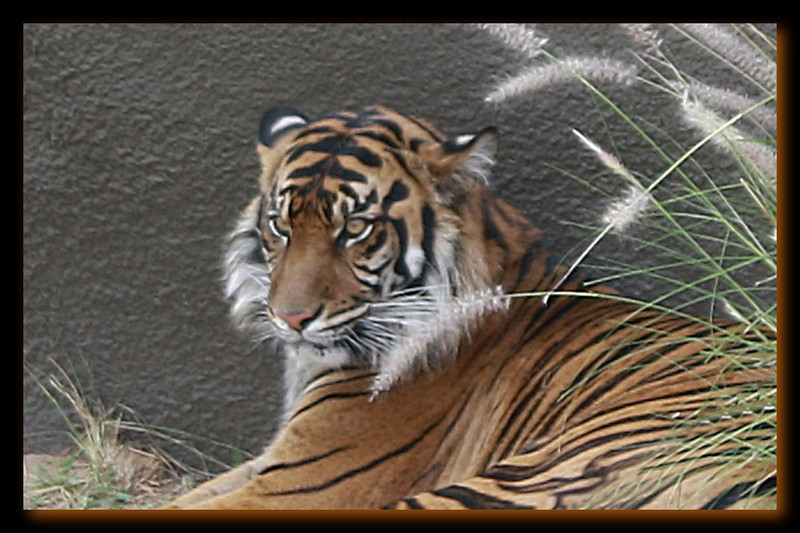 ZO 1 Tiger