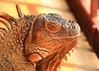 ZO 26 Iguana Smiles