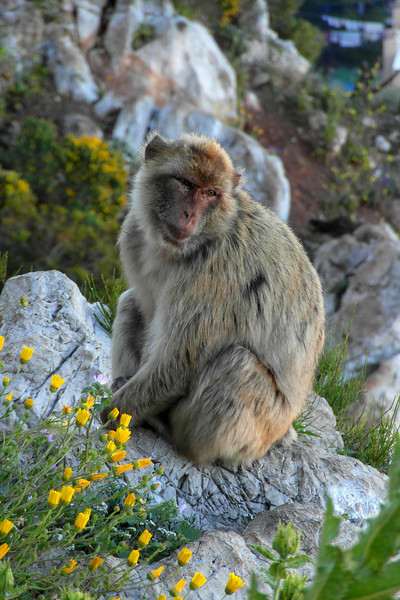 ZO 49 Barbary Ape on Rock
