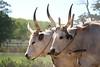 ZO 64 Oxen