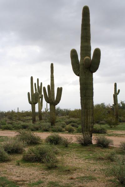 AZ 5 Saguaros
