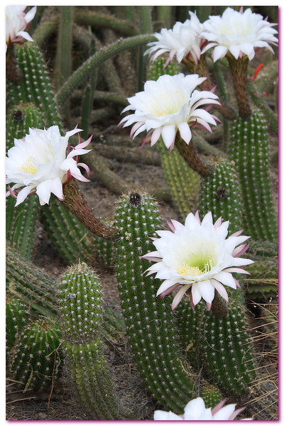 AZ 2 Night Blooming Cactus
