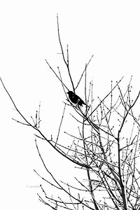 Spring Tree and Blackbird silhouette