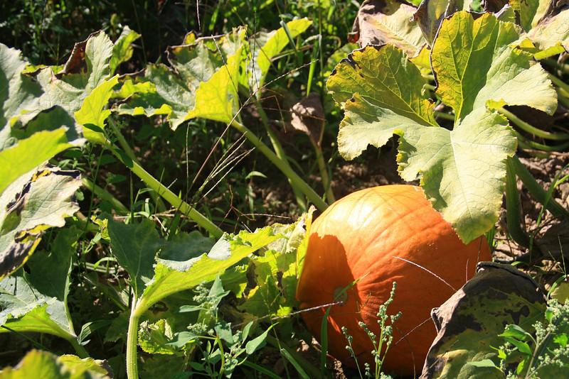 SC 52 Pumpkin Picking Time