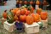 SC 162 Pumpkin in a Cluster