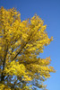 SC 147 Yellow Tree