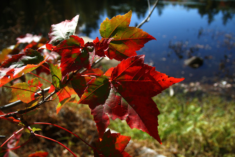SC 115 Autumn Leaves