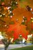 SC 296 Autumn  Leaf - Close up IMG_5327