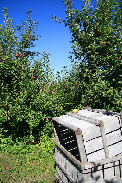 SC 48 Apple Harvest