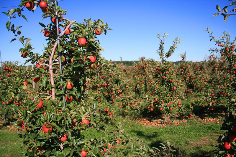 SC 49 Apple Harvest Time