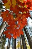 Dangling autumn leaves