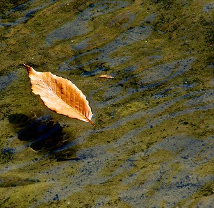 Lone leaf on water