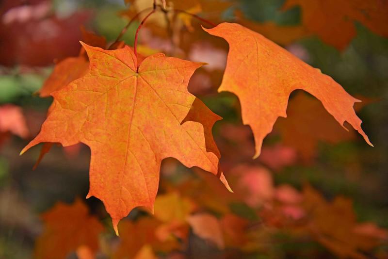 Pumpkin Orange Leaves