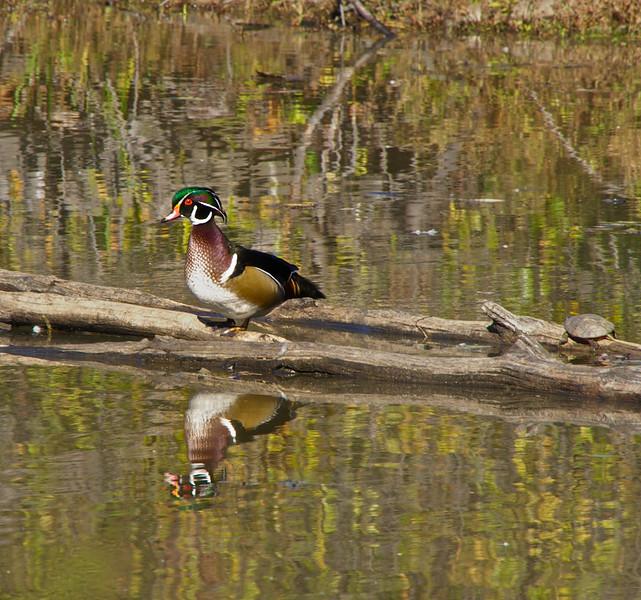 Lone Wood Duck