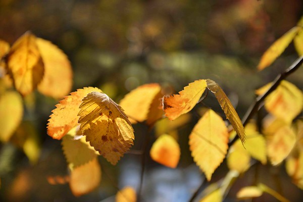 Golden Yellow Leaves