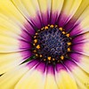 _1100787-Gerbana Daisy