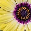 _1100782-Gerbana Daisy