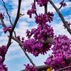 _1100982-Texas Redbuds, Cercis Canadensis-sig