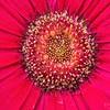 _1100820-Gerbana Daisy