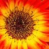 _1100823-Gerbana Daisy