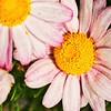 _1100833-Daisy