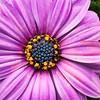 _1100935- Osteospermum Daisy