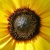 P1000231-Sunflower
