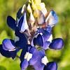 _1110016-Blue Bonnet-sig2