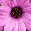 _1100785-Gerbana Daisy