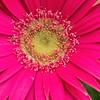 _1100871-Gerbana Daisy