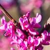 _1110011-Texas Redbuds, Cercis Canadensis-sig