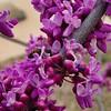 _1100984-Texas Redbuds, Cercis Canadensis-sig
