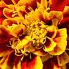 _1100978-Marigold-sig