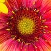 _1100928-Gerbana Daisy