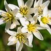 _1110075-Wild White garlics, allium neapolitanum-sig