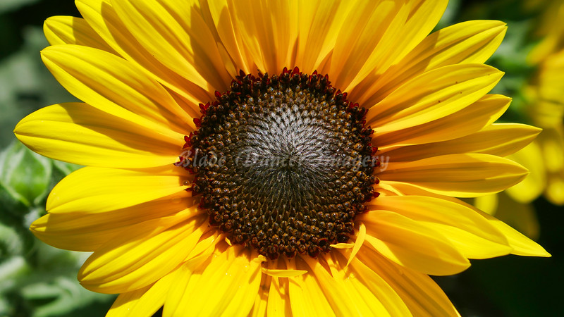 P1000230-Sunflower